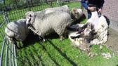 kırpılmış : Footage of sheep shearer shearing sheep is process-which by woolen fleece of sheep is cut off Typically each adult sheep is shorn once each year 4K high resolution sheep farm spring day