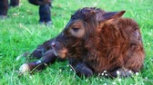 cow birth : New born calf closeup beautiful cute cow minutes after birthmother cow and another cow licking young infant vigorously clean baby cow Aberdeen Angus cattle beautiful summer evening on green grass Stock Footage