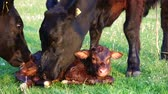 aberdeen : New born calf beautiful cute cow minutes after birthmother cow and another cow licking young infant vigorously clean baby cow Aberdeen Angus cattle beautiful summer evening on green grass field