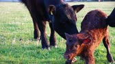aberdeen : New born calf struggling to rise to its feet and stand up for very first time making first steps small courtly mother cow licking young infant vigorously Aberdeen Angus cattle just minutes afterbirth