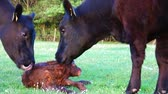 cow birth : New born calf struggling to rise to its feet but then falls down again mother cow licking young infant vigorously Aberdeen Angus cattle beautiful summer evening green grass field minutes afterbirth