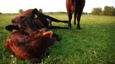 cow birth : New born calf lying on ground and tired mother cow licking young infant and then ook lying down Aberdeen Angus cattle beautiful summer evening grass field minutes afterbirth youngbaby still law Stock Footage