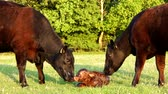 cow birth : New born calf struggling to rise to its feet very first Attempts mother cow licking young infant vigorously Aberdeen Angus cattle beautiful summer evening on green grass field minutes afterbirth