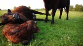 cow birth : New born calf lying on ground and tired mother cow hugging young infant and then ook lying down Aberdeen Angus cattle beautiful summer evening grass field minutes afterbirth youngbaby still law Stock Footage