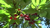 cúpula : Close up of ripe fresh red cherries hanging in tree branch fruit is ripe for picking beautiful dark red color combination with green leafs slowly moving by wind blue sky background and green leafs 4k