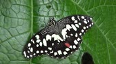inseto : Zoom out of beautiful black and white butterfly wings fully stretched sitting on a large green leaf of tropical plant the butterfly HAS is about 10 centimeters wide quite large for an insect 4k