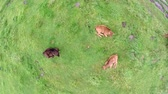 aberdeen : Aerial top down view of three calfs laying on green grass field drone moving up then showing remainder of cattle Mainly Aberdeen Angus cows but usefull some Holstein cows one calf drinking milk at mother 4k
