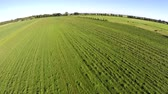 mowed : Aerial birdview or worked meadow mowed fresh green grass straight strips piles of grass drone flying forward blue sky background beautiful summer day farmland grass harvested for cattle in winter 4k Stock Footage