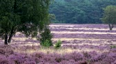 common heather : Purple heath landscape full of purple colored shrubland habitat vegetation Heaths are widespread worldwide but are fast disappearing and rare habitat in Europe Considered beautiful heathland 4k