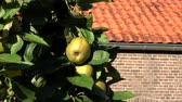 very low : Apple tree and green apples hanging in the tree low hanging fruit almost ripe green colored ook showing green leaves and next to it the warm orange color of house roof and walls unsharp 4k quality