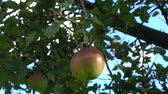 very low : Apple tree showing red and green apple hanging in the tree low hanging fruit almost ripe green and red color ook showing green leaves and through them a blue sky in the background 4k quality