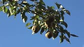very low : Pear tree pears in pear tree hanging low hanging fruit almost ripe green color in background crisp blue sky Cultivars of Pyrus communis being climacteric fruits are Gathered before fully ripe 4k