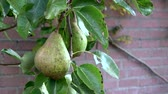 еще : Close up of two pears in pear tree hanging low hanging fruit almost ripe green color in the background wall in summer Cultivars of Pyrus communis being climacteric fruits are Gathered before fully ripe 4k