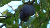 еще : Close up of fresh not yet ripe purple plums low hanging fruit showing tree branch moving slowly by wind and blue sky background fruits HAS dark purple color and green leaves not ready for picking 4k