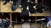 trough : cows in the stable  multiscreeen Stock Footage