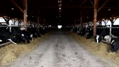 trough : cows in the stable  Stock Footage