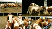 tourada : multiscreen Bulls farm cattle Stock Footage