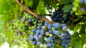 meal : grapes in the vineyard