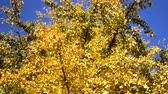 golden : dry autumn leaves on tree, entering the fall season Stock Footage