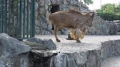 гриф : Barbary Sheep in the zoo ,Slow Motion