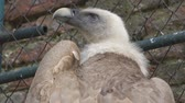гриф : Griffon Vulture in the zoo ,Slow Motion