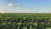 sojabohne : Soybean with irrigation sprinklers field