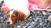 тигр : Dachshund Dog summer garden