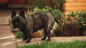 yellow dog : Black French Bulldog Garden
