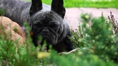 бульдог : Black French Bulldog Garden