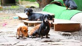 лояльный : Dachshund Dog summer garden