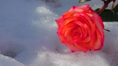 christmas fragrances : one red rose flower snow hd footage Stock Footage