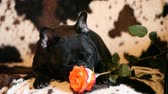 時代遅れの : french bulldog red rose flower hd footage