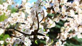 buda : apricot tree flower and  rusty scissors Stock Footage