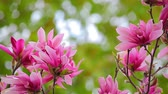 broto : Pink magnolia  flower tree