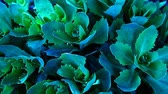 mexicano : succulent plant background hd footage nobody Vídeos