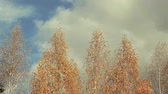 meteoroloji : autumn birch tree sky background