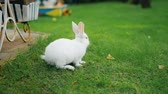 králíček : Cute adorable white fluffy rabbit sitting on green grass lawn at backyard. Small sweet bunny walking by meadow in green garden on bright sunny day. Easter nature and animal background