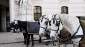 viyana : two pairs of white and black beautiful horses with carriage in Vienna historical city center near Hofburg palace. Traditional austrian travel sighseeing destination and landmark. Horses voyage trip