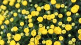 krizantem : Beautiful vibrant yellow chrysanthemum flowers carpet background outdoor Stok Video