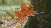 november : Autumn leaf lies on a branch Stock Footage