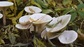cogumelo venenoso : A group of beautiful mushrooms in the autumn forest