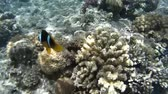 aquarium : Clown fish swimming in coral reefs. Red Sea. Egypt Stock Footage