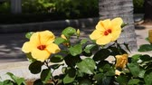 hibisco : Beautiful yellow bright flower of a hibiscus waving in the wind.