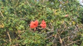 hibisco : Beautiful hibiscus flowers swing in the wind.