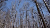bare forest : Tops of trees without leaves against the blue spring sky. Camera moves from left to right.