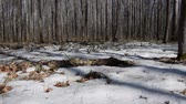 marchs financiers : Early spring landscape of the snow in the forest. Camera moves from left to right.