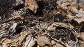 teem : Ants in an anthill. Ants in the spring sunny forest after winter. Stock Footage