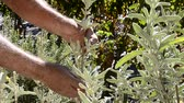 Sage plant harvest farmer collection.