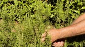 Farmer collecting rosemary crop herb.