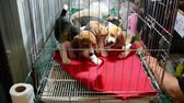 domestic : Cute Beagle puppies are playing and fighting in the cage